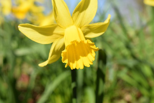 Daffodils, Yellow, Flowers, Blossom, Nature, Flora