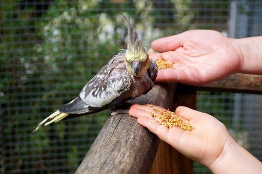 Bird, Feeding, Cockatiel, Parakeet, Animal, Feed
