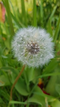 Dandelion, Flower, Nature