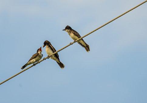 Kingbird Feeds Fledgling, Eastern Kingbird