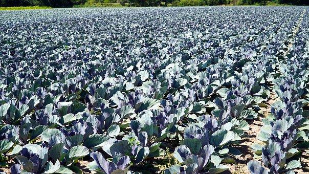 Farm, Kohl, Vegetable, Vegetable Growing, Agriculture