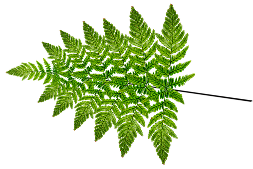 Fern, Leaf, Frond, Plant, Nature, Cut Out, Isolated
