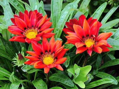 Gorgeous Rain Flower, Gaza To Rigen-old, Red, Flower