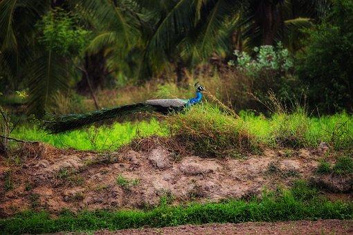 Peacock, Nature, Animal, Bird