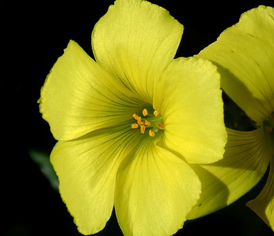 Flower, Sour Sob, Oxalis, Weed, Yellow, Plant, Nature
