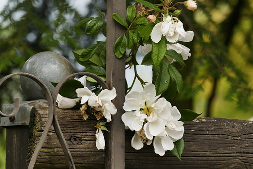 Flowers, White, Garden, Nature, Summer, Fence