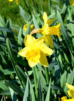 Daffodils, Plants, Flowers, Yellow, Nature, Blossom