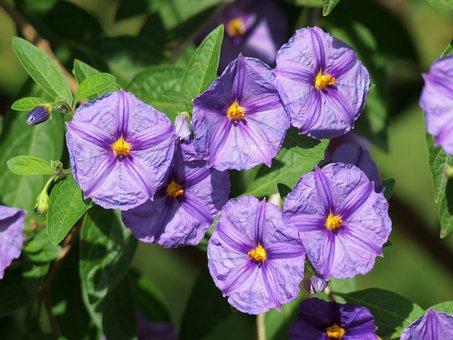 Flower, Mountain Csucsor, Colt Star, Nierembergia