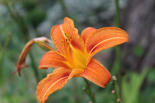Flower, Nature, Orange, Bloom, Plant