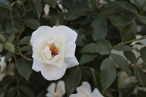 Flower, Nature, Bee, Rose, White, Plant, Bloom, Blossom