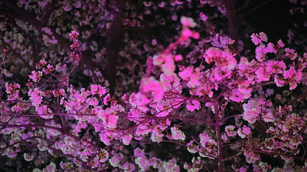 Flowers, Cherry Blossom, Sakura, Petals, Leaves