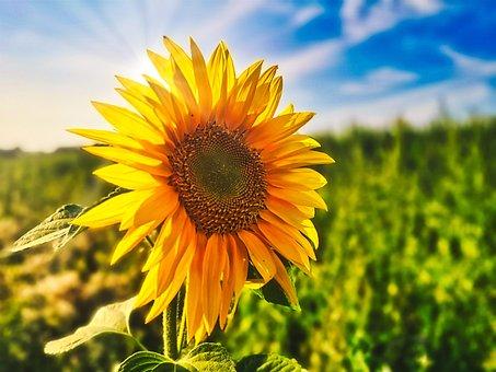 Sunflower, Flower, Field, Sun, Summer, Sunbeam, Plant