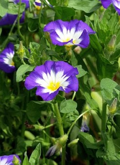 Flower, Dwarf Morning Glory, Three-coloured Bindweed