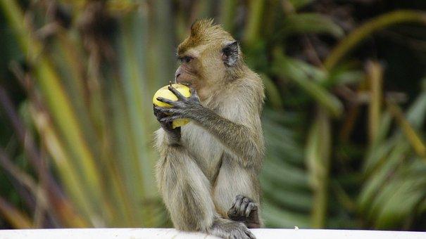 Monkey, Malaysia, Wildlife, Animal