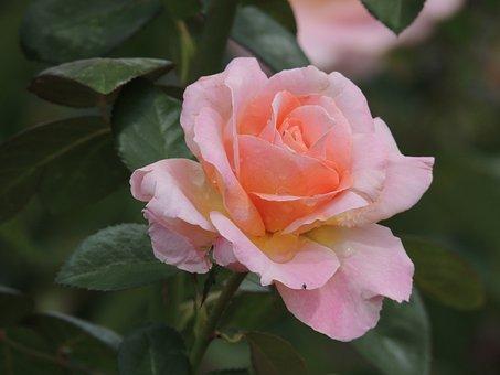 Flower, Nature, Garden, Spring, Flora, Roses, Yard