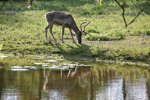 Reindeer, Horns, Lake, Pond, Reflection, Zoo, Denmark