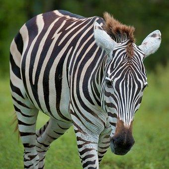 Zebra, Stripes, Nature, Wildlife, Animal, Mammal