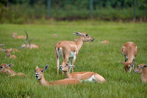 Antelope, Young Antelope, Antelope Calves, Nature
