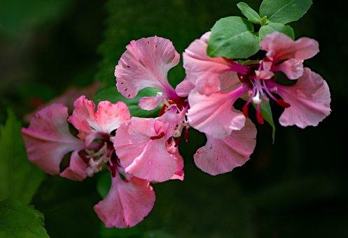 Clarkia Unguiculata, Almond Rose, Flowers, Petals