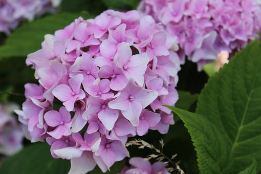 Flowers, Hydrangea, Petals, Leaves, Foliage, Blossom