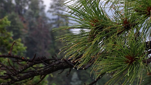 Pine, Nature, Tree, Cone, Fir, Branch, Forest, Green