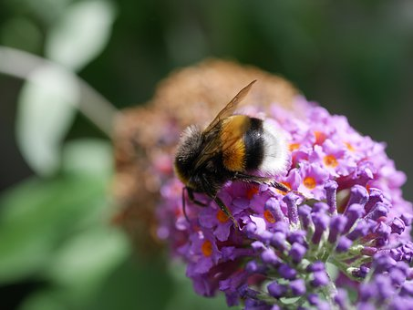 Hummel, Insect, Bug, Wings, Stripes, Flowers, Petals