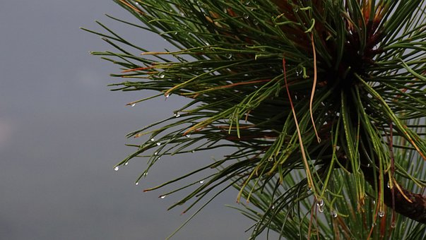 Pine, Nature, Tree, Fir, Branch, Forest, Plant, Scenery