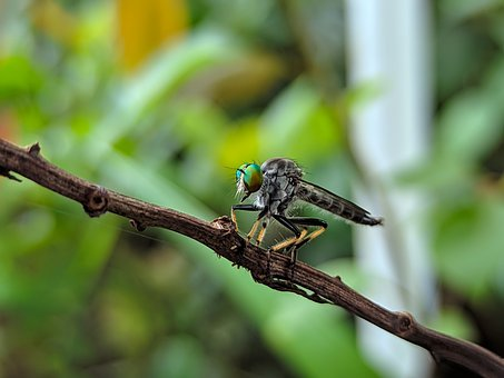 Fly, Robber Fly, Ommatius, Insect, Bug, Eyes, Nature