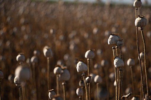Poppy Capsules, Landscape, Field, Nature
