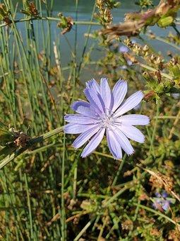 Flower, Petals, Grass, Buds, Weeds, Cichorium Intybus