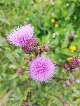 Thistle, Flower, Petals, Buds, Plants, Weeds, Agrimony