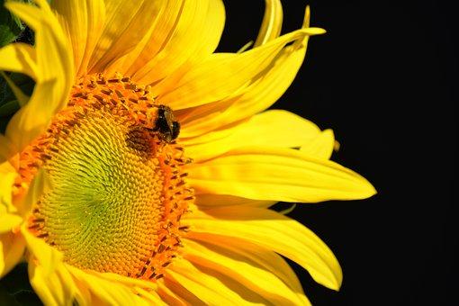 Sunflower, Flower, Petals, Bumblebee, Bee, Insect