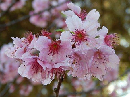 Sakura, Cherry Blossoms, Flowers, Petals, Branch, Tree