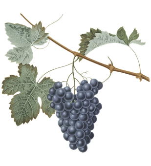 Grapes, Leaves, Foliage, Branch, Tree, Wine, Vineyard
