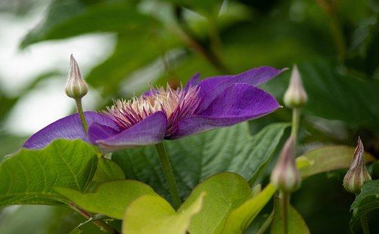 Clematis Multi Blue, Bosrank, Flowers, Petals, Buttons