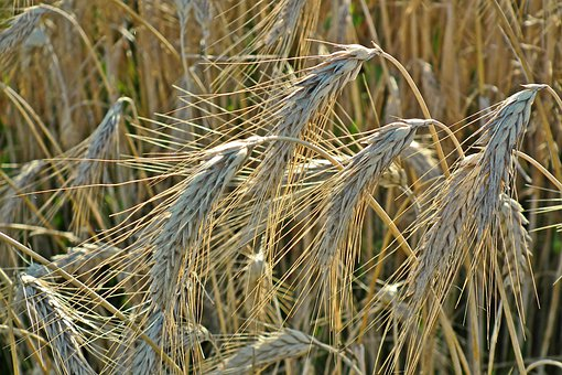 Corn, Grain, Agriculture, Field, Harvest, Rye, Cereals