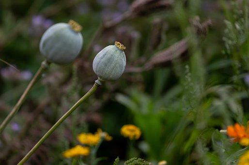 Poppy Head, Wild Poppy, Dead Poppy, Seed Pod, Bloom