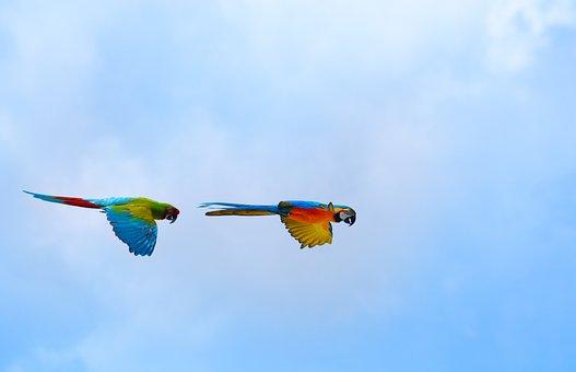 Parrots, Birds, Ara, Flight, Fly, Heaven, Sky, Exotic