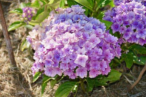 Flowers, Petals, Flower Hydrangea, Plants, Bouquet
