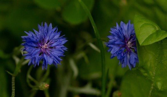 Flower, Cornflower, Petals, Stems, Leaves, Foliage