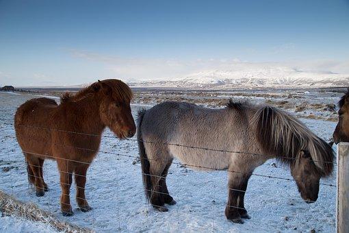 Horses, Equine, Mane, Ponies, Snow, Ice, Frost, Winter