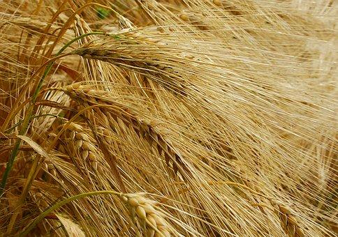Wheat, Harvest, Nature, Cereals, Grain, Autumn, Healthy