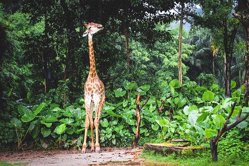 Giraffe, Neck, Long Neck, Spots, Trees, Leaves, Foliage