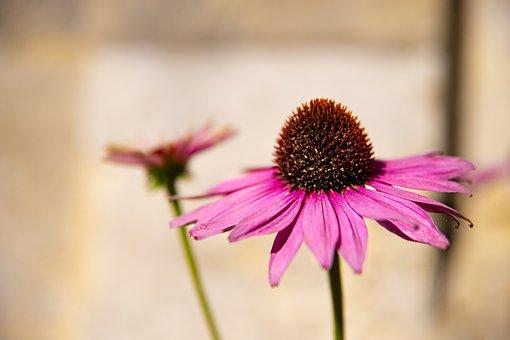 Echinacea, Flowers, Petals, Garden, Nature, Flora