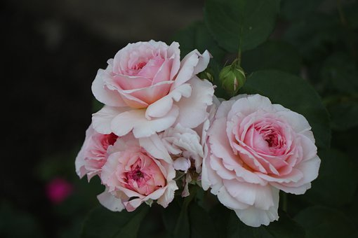 Roses, Bloom, Flowers, Floral, Nature, Blossom, Bouquet