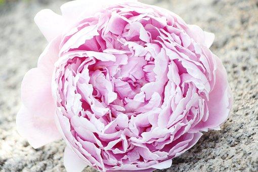 Peony, Flower, Bloom, Beauty, Blossom, Nature, Flora