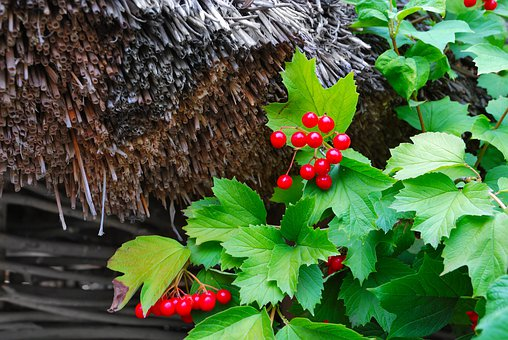 Viburnum, Guelder Rose, Bunch, Cluster, Leaves, Berry