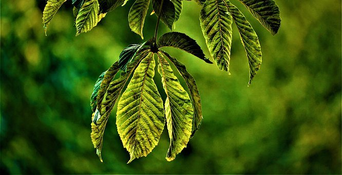 Leaves, Chestnut, Tree, Summer, Green, Shining, Nature