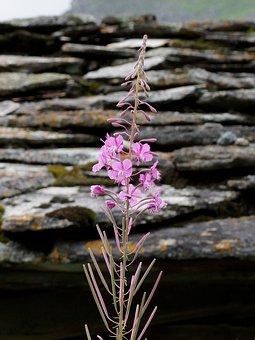 Flower, Petals, Buds, Leaves, Herb, Pink, Füzike