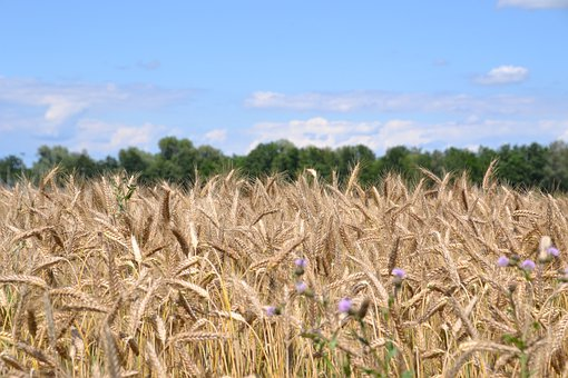 Cereals, Grain, Spike, Cornfield, Field, Agriculture
